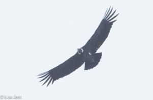 Andean Condor 04-01-15-3882