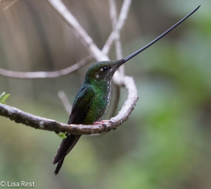 Sword-Billed Hummingbird 04-1-15-4424