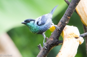 Black-Capped Tanager 04-3-15-6185