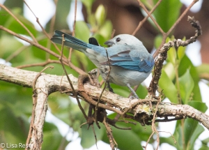 Blue-Gray Tanager 04-2-15-5077