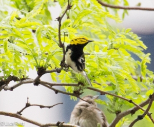 Black-Throated Green Warbler, Union Station
