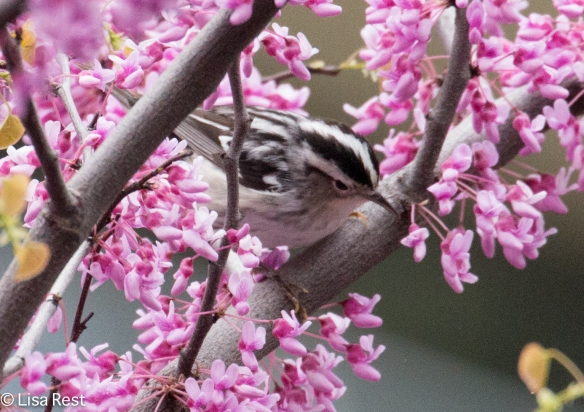 Black-and-White Warbler, Lake Shore East Park