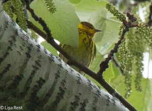 Cape May Warbler, Chicago Portage, 5-10-15