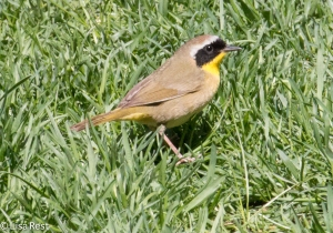 Common Yellowthroat, Lake Shore East Park