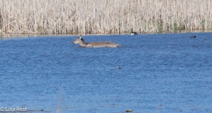 Doe Going For a Swim 4-26-15-9124
