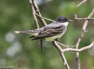 Eastern Kingbird, Portage 5-25-15 - There were two today, sallying for prey over the slough