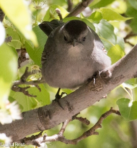 Gray Catbird, Lake Shore East Park