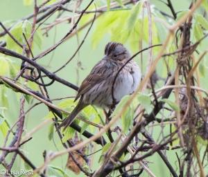 Lincoln's Sparrow, Chicago Portage, 5-10-15
