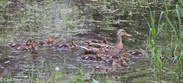 A Mallard mom with eleven ducklings (they can't be all hers?)!