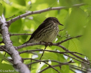 Northern Waterthrush, Lake Shore East Park