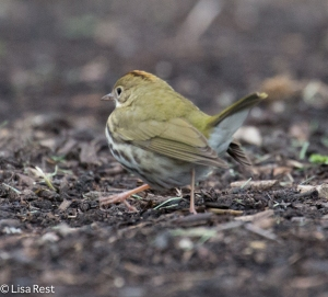 Ovenbird, Lake Shore East Park