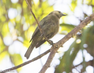 Palm Tanager 03-30-15-2161