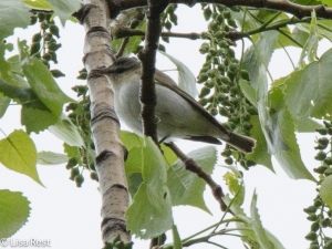 Red-Eyed Vireo, Chicago Portage, 5-10-15