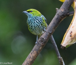 Speckled Tanager 04-03-15-6912