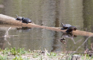 Turtles 4-26-15-9555