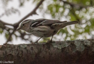 Black and White Warbler Berwyn 5-16-15-1975