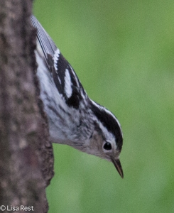 Black and White Warbler Berwyn 5-16-15-1993