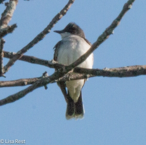 Eastern Kingbird, LaBagh Woods, 5-23-15