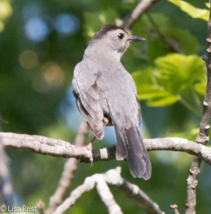 Gray Catbird, LaBagh Woods