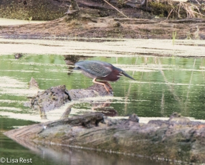 Green Heron, Chicago Portage