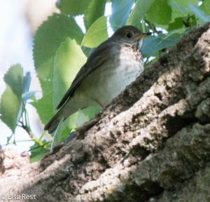 Swainson's Thrush, LaBagh Woods, 5-23-15