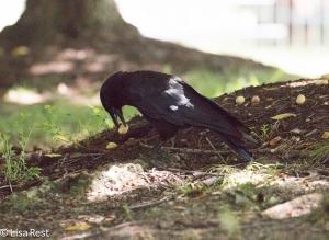Crow  7-27-15-8012