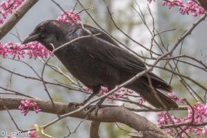 Crow LSE Park 5-6-15-2