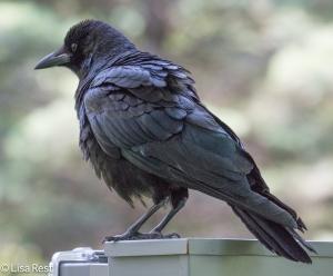 Crow LSE Park 6-30-15-5845