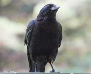 Crow LSE Park 6-30-15-5861