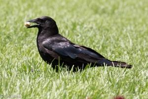 Crow LSE Park 7-2-15-6028