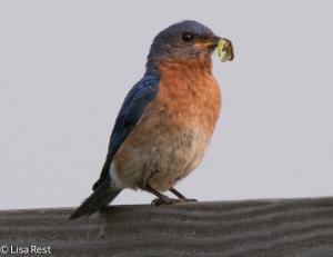 Eastern Bluebird, Goose Lake Prairie