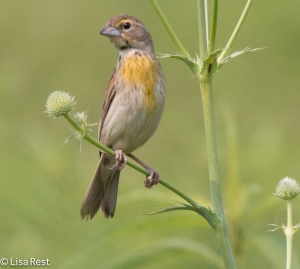 Female Dickcissel, Goose Lake Prairie