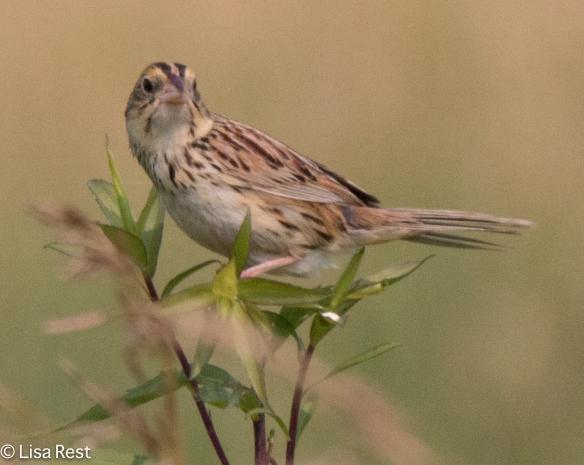 Grasshopper Sparrow, Goose Lake Prairie