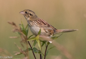 Grasshopper Sparrow, Goose Lake Prairie