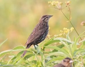 Juvenile Red-Winged Blackbird, Goose Lake Prairie