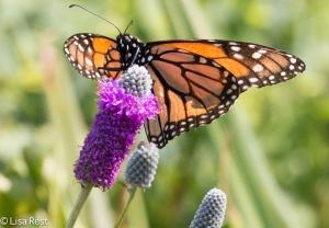 Monarch Lurie Millennium 7-15-15-7570
