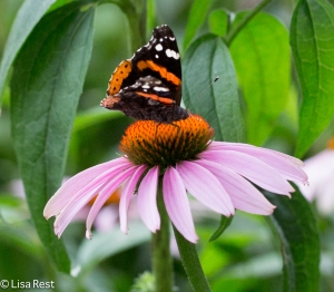 Red Admiral Yard 7-18-15-1111