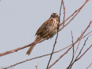 Song Sparrow, Goose Lake Prairie