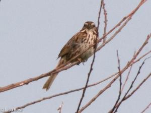 Song Sparrow, Goose Lake Prairie