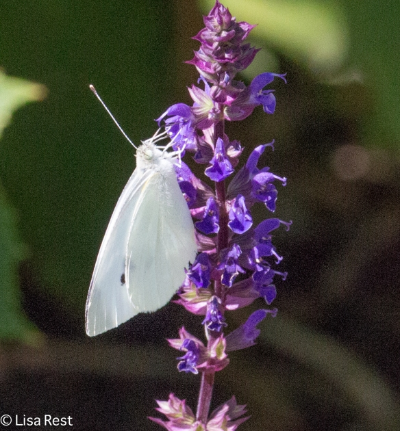 Cabbage White 8-19-15-9572