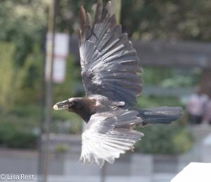 Crow 8-19-15-9334