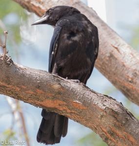 Juvenile Crow Millennium 8-11-15-8765