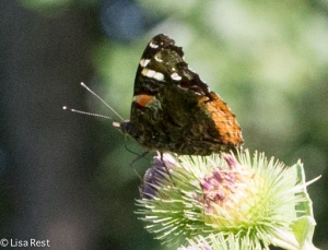 Red Admiral Portage 8-2-15-1349