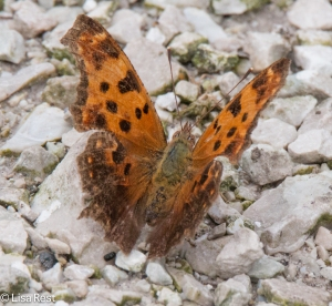 Eastern Comma Portage 8-30-15-0252