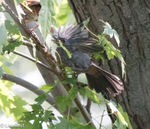 Gray Catbird, Chicago Portage