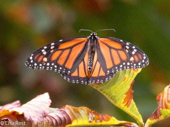 Monarch in my Yard 8-30-15-0318