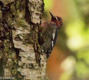 Red=Bellied Sapsucker