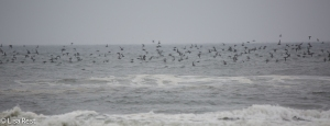 Thousands of Sooty Shearwaters
