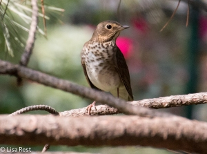 Swainson's Thrush, Lake Shore East Park