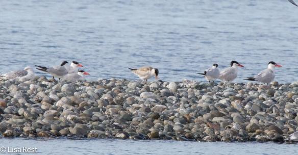 Caspian Terns 9-17-15-2265